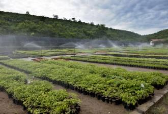 Viveiro de mudas nativas de Mata Atlântica do Instituto Terra, utilizadas nas áreas de reflorestamento do projeto Nascentes. (Foto Weverson Rocio)